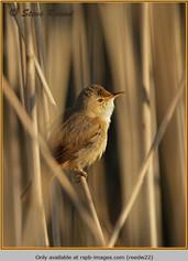 reed-warbler-22.jpg