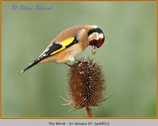 goldfinch-31.jpg