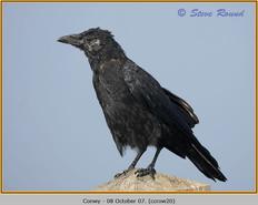 carrion-crow-20.jpg