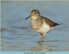 common-sandpiper-26.jpg