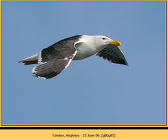 gt-b-backed-gull-03.jpg