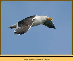 gt-b-backed-gull-03.jpg
