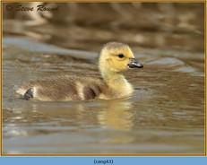 canada-goose-43.jpg