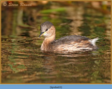 little-grebe-03.jpg