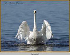 whooper-swan-36.jpg