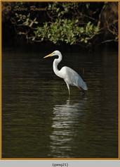 great-white-egret-21.jpg