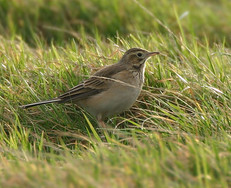 richards-pipit-02.jpg