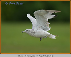ring-billed-gull-04.jpg
