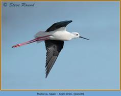 black-winged-stilt-60.jpg