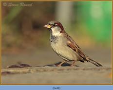 house-sparrow-42.jpg