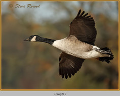 canada-goose-24.jpg