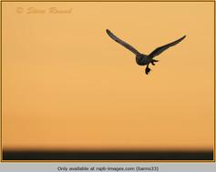 barn-owl-33.jpg