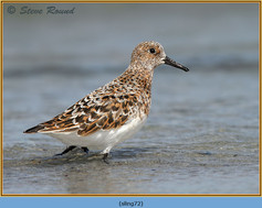 sanderling-72.jpg