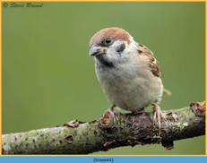tree-sparrow-44.jpg