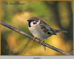 tree-sparrow-35.jpg