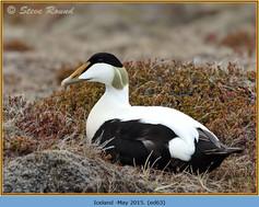 eider-duck- 63.jpg