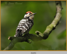 lesser-spotted-woodpecker-06.jpg