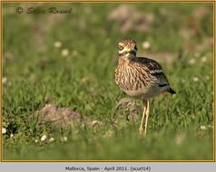 stone-curlew-14.jpg