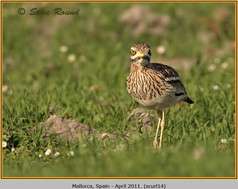 stone-curlew-14.jpg