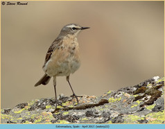 water-pipit-22.jpg