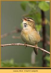 sedge-warbler-20.jpg