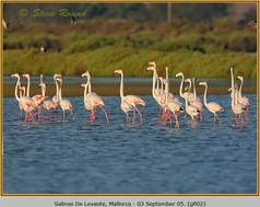 greater-flamingo-02.jpg