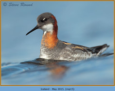 red-necked-phalarope-15.jpg