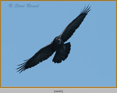 raven-41.jpg