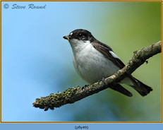 pied-flycatcher-49.jpg