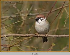 tree-sparrow-26.jpg