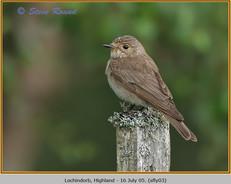 spotted-flycatcher-03.jpg