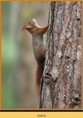 red-squirrel-12.jpg