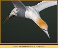 gannet-02.jpg