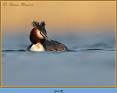 great-crested-grebe-74.jpg