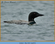 great-northern-diver-57.jpg