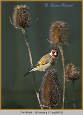goldfinch-32.jpg