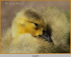 canada-goose-26.jpg