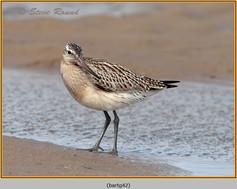 bar-tailed-godwit-42.jpg