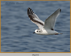 little-gull-14.jpg