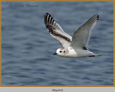little-gull-14.jpg
