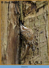 treecreeper-51.jpg