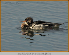 red-breasted-merganser-10.jpg