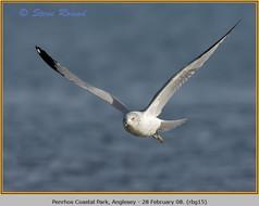 ring-billed-gull-15.jpg
