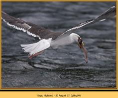 gt-b-backed-gull-09.jpg