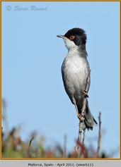 sardinian-warbler-11.jpg