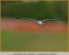 white-winged-black-tern-11.jpg