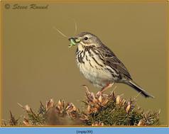 meadow-pipit-39.jpg