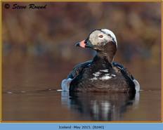 long-tailed-duck-40.jpg