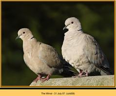collared-dove-08.jpg