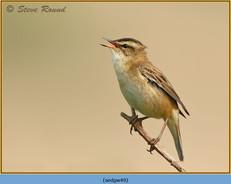 sedge-warbler-49.jpg